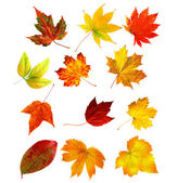 Big collection beautiful colourful autumn leaves isolated on whi — Stock Photo