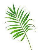 Groene blad van varens geïsoleerd op wit — Stockfoto