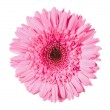 Beautiful pink gerbera isolated on white — Stock Photo