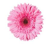 Vacker rosa gerbera isolerad på vit — Stockfoto