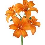 Orange lily isolated on white — Stock Photo #7615499