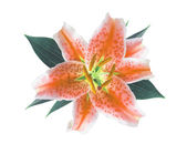 Orange flower lily isolated on white background — Stock Photo