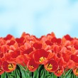 Stock Photo: Field of Red Tulips over Blue Sky