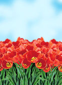 Field of Red Tulips over Blue Sky — Stock Photo