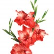 Beautiful red gladiolus isolated on white background — Stock Photo