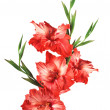 Stock Photo: Beautiful red gladiolus isolated on white background