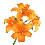 Beautiful orange lily flowers isolated on white — Stock Photo #7849779