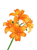 Beautiful orange lily flowers isolated on white — Stock Photo