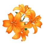 Beautiful orange lily flowers isolated on white — Stock Photo #7866620