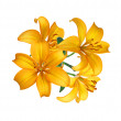 Beautiful yellow lily isolated on white — Stock Photo #7866702