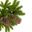 Branch of Christmas tree with cones isolated on white — 图库照片