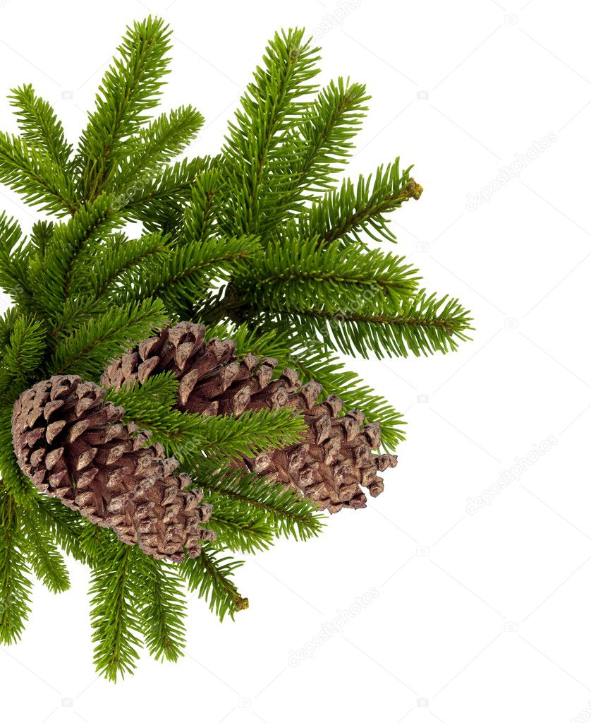 Branch of Christmas tree with cones isolated on white — Photo #7911579