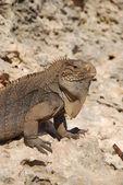 Iguana island — Stock Photo