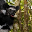 Black and white Lemur, endemic of Madagascar — Stock Photo