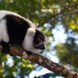 Lemur Indri Indri — Stock Photo #7041768