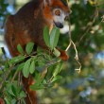 Lémurien dans les branches d'un arbre — Stock Photo