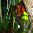 Red Lemur — Stock Photo #7042004