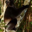 Lemur Indri Indri — Stock Photo #7042333