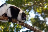 Lemur Indri Indri — Stock Photo
