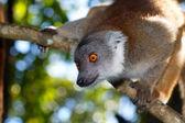 Regard orange du lemur fulvus à Madagascar — Stock Photo