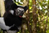 Lémurien de Madagascar tirant la langue — Stock Photo