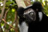 Beau regards du lémurien Indri Indri de Madagascar — Stockfoto