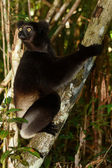 Lemur Indri Indri — Stock Photo