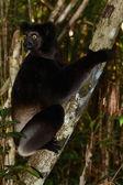 Lemur Indri Indri, le plus grand lémurien de Madagascar — Stock Photo
