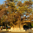 The famous Giant baobab of Mahajanga - Stock fotografie