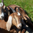 Two Brown Billy Goats — Foto Stock