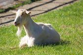 White Billy Goat — Stock Photo