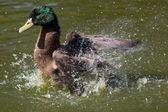 Mallard Duck Flapping — Stock Photo