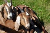 Two Brown Billy Goats — Stock Photo