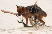 German Shepherd With Branch — Stock Photo