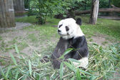 Little panda — Stock Photo
