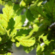 Stock Photo: Close-up of sunlit oak leaves