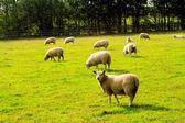 Malé stádo ovcí — Stock fotografie
