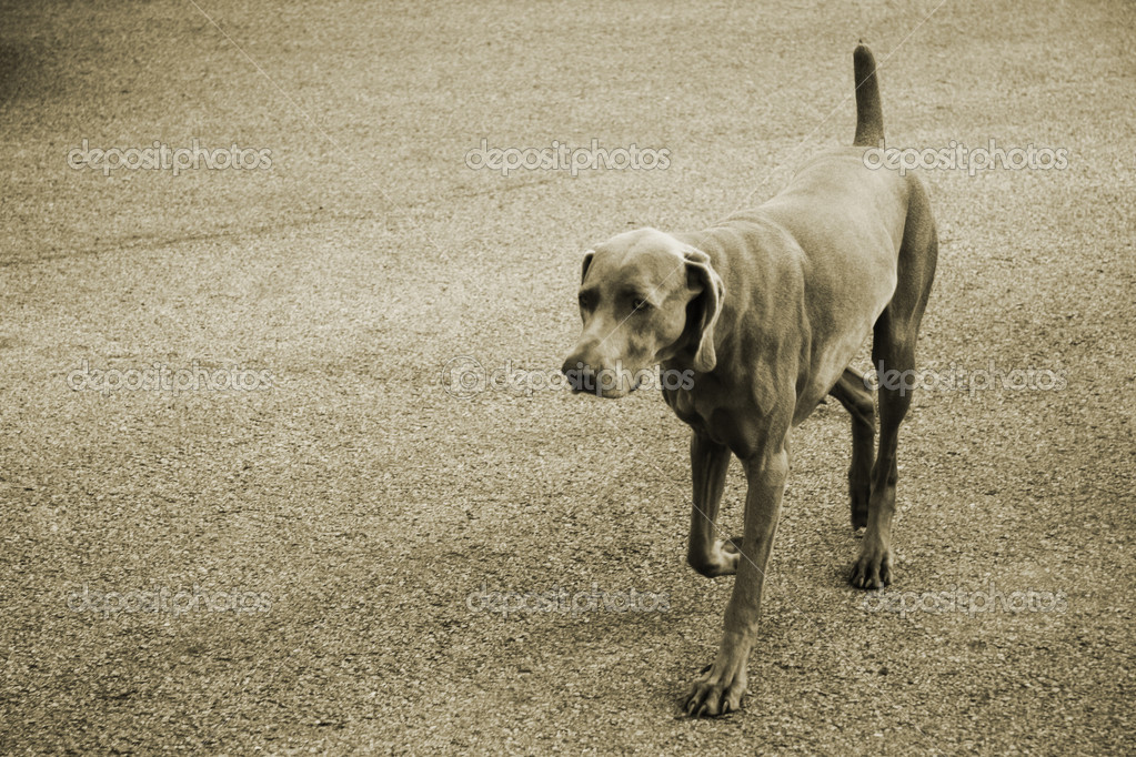 Mastiff for a walk along the way  — Stock Photo #6848802