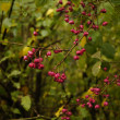 Spindle (Euonymus europaeus) — Stock Photo