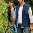 Grape picking — Stockfoto
