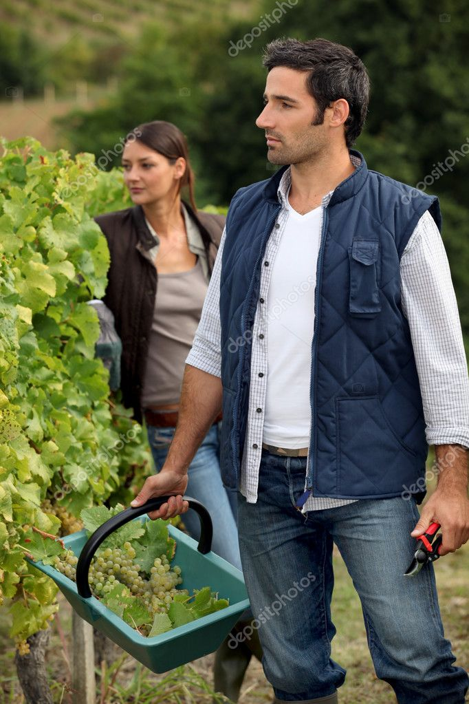 Grape picking — Stock Photo #7132302