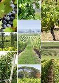Wijnstokken en wijnstokken shoots — Stockfoto