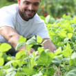 Smiling man picking peppers — Stock Photo #7424269