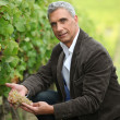 Stock Photo: Vineyard owner inspecting bunch of grapes
