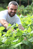 Smiling man picking peppers — Stock Photo