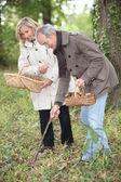 Middle-aged couple gathering mushrooms — Stock Photo