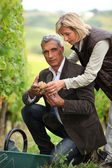 Couple picking grapes together — Stockfoto