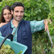 Grape picking — Stock Photo #7621929