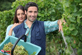 Grape picking — Stock Photo