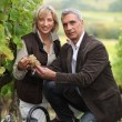 Wel dressed couple picking grapes in a vineyard — Stock Photo #7672924
